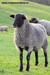 our Romanov ram 3 months old.jpg