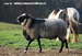 our Romanov sheep - he is sold to Hungary.jpg