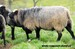ram years old  he was exported to Hungaria.jpg