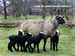 stirps of our herd Romanov sheep.jpg