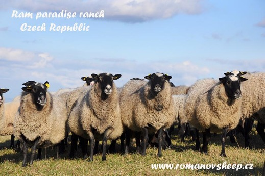 our herd Romanov sheep