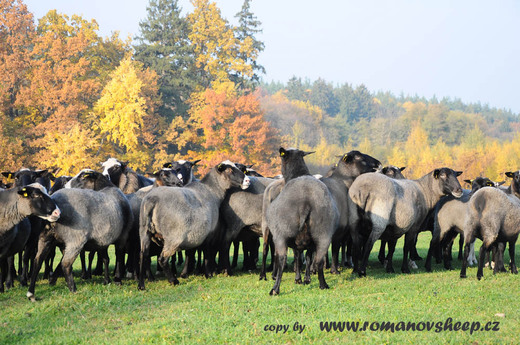 romanov sheep in the autumn